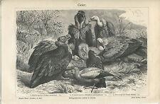 ca 1890 Old World Vultures Griffon Vulture Egyptian Vulture Antique Print