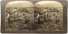 Keystone Stereoview Harvesting Sugar Cane in PERU South Am. from 1930's T400 Set