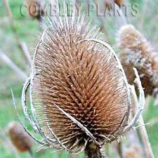 TEASEL - DIPSACUS FULLONUM - WILDFLOWER - 300 SEEDS -  wild flower seed