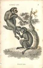 1800 Pygmy Ape Engraved Mammal Plate - Shaw