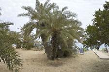 New listing Phoenix theophrasti ssp. Golkoy 25 seeds Hardy Cretan Date Palm theophrastii