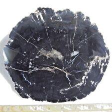 Polished Black Petrified Wood from Arizona. Conifer. Triassic. 7 inch Diameter
