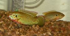 "X10 TURQUOISE JEWEL CICHLID SOUTH AMERICAN SM/MD 1""-2"" FRESH WATER LIVE FISH"