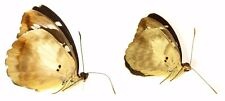 LEPIDOPTERA, NYMPHALIDAE, LIMENITIDINAE, ATERICA GALENE (pair) From TOGO