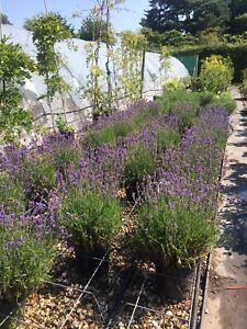 Lavender Munstead 30-40cm