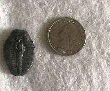 Trilobite Elrathia Kingii Fossil Mineral Sea Life Wheeler Shale Specimen