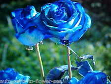 LARGE BLUE PACIFIC ROSE FLOWER SEEDS   This is a  U.S.A. TEXAS SHIPPED item