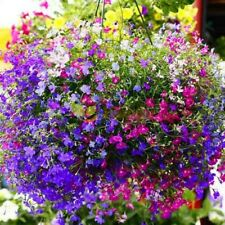 "BUY 2 GET 1 FREE,Trailing Lobelia Cascade mixed,7000 seeds+4"" FREE PLANT LABEL"