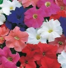 Petunia - Dream Series Mixed - 50 Seeds