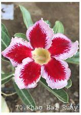 Succulent &cactus,Adenium obesum No70 khow hai ruay,desert rose  usa free ship