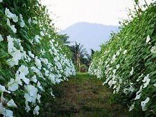 SEEDS OF 5 NIGHT FLOWER MORNING GLORY BIG WHITE MOONFLOWER BEST