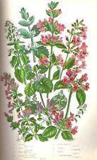 1899= NEPETA= Piante = Antica Stampa CROMOLITOGRAFIA by A.Pratt