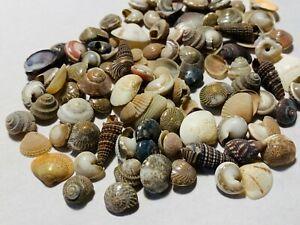 500+ Tiny Mixed Seashells, Assorted Craft Shells Mix US Seller Free Ship!