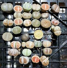 ASSORTED LITHOPS  x 1 -  Living Stones  Succulent Cactus