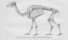 Dromedar Skelett Gerippe Camelus dromedarius Kamel Holzstich von 1891