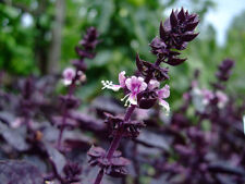 """Basil """"rosie"""" - 20+ graines-exotique et aromatique!"""