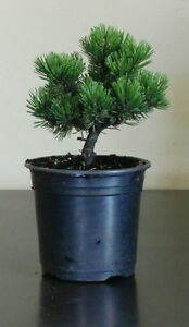 "Pinus mugo ""Sherwood compact"" 15 cm - Zwerg-Kiefer"