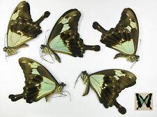 Papilio phorcas 5males A- wholesale low prices butterflies for artwork frames