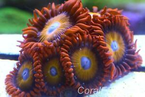 Marine coral,Zoanthus sp, BBEB (BLONDE HAIRED BLUE-EYED zoas)stunning polyps