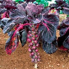Cabbage seed Brussels Rosella Ukraine Heirloom Vegetable Seeds. 170 SEEDS