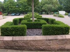 Buxus Full Sun Shrubs & Hedges