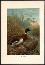 Antique Print-WILD DUCK-MALLARD-Brehm-1890