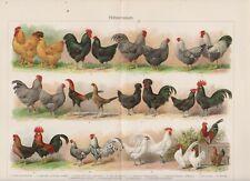 1895 CHICKENS HEN ROOSTER BREEDS BIRDS Antique Chromolithograph Print A.Schoner