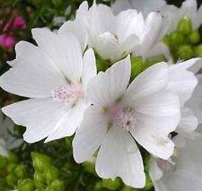 30+ APPLEBLOSSOM MALVA MOSCHATA FLOWER SEEDS  / PERENNIAL