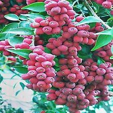RIBERRY SEEDS SYZGIUM LUEHMANNII HARDY BUSH TUCKER FLOWERING TREE