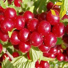 NANKING CHERRY Prunus Tomentosa - 10+ SEEDS