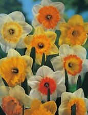 10, 20 oder 50 Großblumige gemischte Narzissen Osterglocken