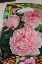 1 Blumenzwiebel,Knolle,Wurzelstock,Pfingstrose,Paeonia,Sarah Bernhard#BZ93