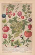 Beerenobst Himbeere Stachelbeere LITHOGRAPHIE von 1898 Weintraube Erdbeere