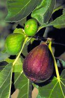 Brown Turkey Fig - 1 Plants - 3 Feet Fall - Ship in 3 Gal Pot