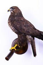 Taxidermy Bird Buzzard Real Stuffed mount animal Buteo buteo