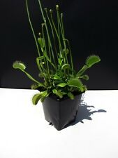 Venus Fly Trap Kids Children Carnivorous House Garden Plants Dionaea Muscipula