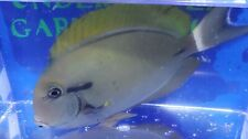 Black Shoulder Tang LIVE FISH Saltwater About 5 Inches