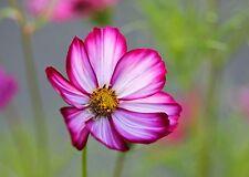360 Seeds COSMOS PINK PICOTÉe / Beautiful Flower Cut