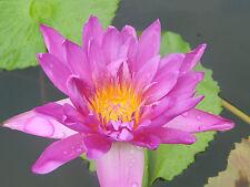100 Seeds Pink day bloomer Water Lily/Nympheae/Lotus