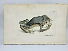 Blue and Yellow Frog - 1783 RARE SHAW & NODDER Hand Colored Copper Engraving