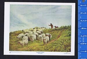 WOOLLY DOMESTIC SHEEP, Ovis aries - 1902 Animal Print