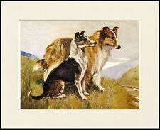 ROUGH AND SMOOTH COLLIE DOGS LOVELY DOG PRINT MOUNTED READY TO FRAME