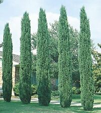 Tree Mediterranean Italian Cypress Tall Plant Pot Garden Semperviren Door