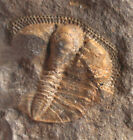 Ordovizium  Telaemarrolithus sp.   Seltener Trilobit  Bethlehem  Wales  55-2