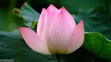 10 Seeds,Sacred lotus ,Nelumbo Seed- Nucifera , YF-4998 Indian National Flower