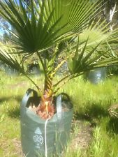 Palm Trees ( Cotton Palms)