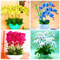 100 PCS Seeds Rare Orchid Bonsai Flowers Mix Color Butterfly Phalaenopsis 2019 N