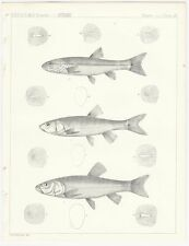 1855 Lithograph - Three Creek Chub from the Pacific Railroad Survey