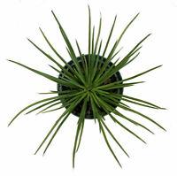 Plant Agave Geminiflora Live 3-Inch Deep Pot Indoor Houseplant