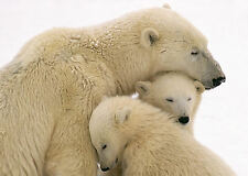 Framed Print - Polar Bear Cubs Cuddling up to there Mother (Picture Poster Art)